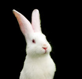 White Rabbit on Black Background Stock Image
