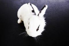 White rabbit on the black background. In the studio Stock Photos
