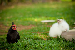 White rabbit and black chicken. A white rabbit eating food in a bowl with a black chicken Stock Images
