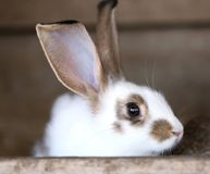 White rabbit with blask spots. Stock Photo