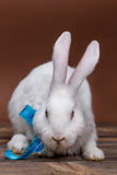 White rabbit with a blue bow Stock Photo