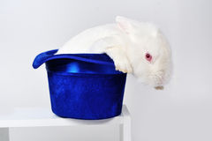 White rabbit in a blue hat Stock Photography