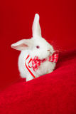 White rabbit in a bow tie Stock Photography