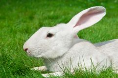White rabbit bunny on grass Royalty Free Stock Photography