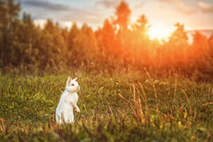 White rabbit or bunny on green meadow in nature, happy easter symbol Royalty Free Stock Images