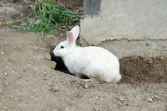 White Rabbit and a Burrow. Beautiful Photo of a Young White Rabbit and a Small Burrow in the Farm stock photo