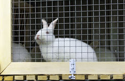 White rabbit in a cage Stock Photo