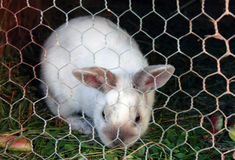 White rabbit in a cage Royalty Free Stock Images