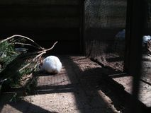 White rabbit in the cage ... royalty free stock photo