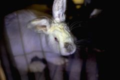 White rabbit in the cage. Breeding of domestic animals Royalty Free Stock Image