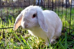 White rabbit in a cage in a sunny day stock images
