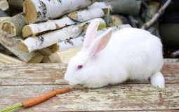 White rabbit and carrot Royalty Free Stock Photo
