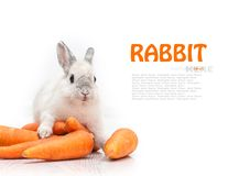 White rabbit and a carrot Royalty Free Stock Image