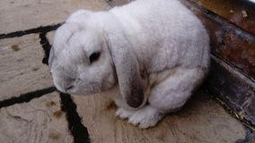 White rabbit. A white Cashmere Lop rabbit outside in the garden on a flagged patio stock image