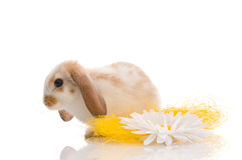 White rabbit with daisy,shoot in the studio Royalty Free Stock Photo