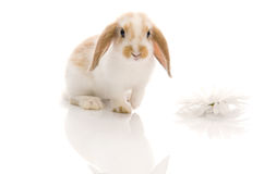 White rabbit with daisy,shoot in the studio Stock Image