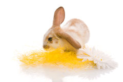 White rabbit with daisy,shoot in the studio Stock Photo