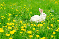 White rabbit on the dandelion meadow Royalty Free Stock Images