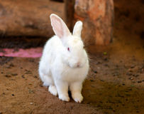 White rabbit on dark sand in zoo Royalty Free Stock Images
