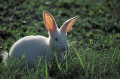 White rabbit. Domestic animals: rabbit (Cuniculus cuniculus Stock Photos