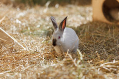 White Rabbit in the dry grass Royalty Free Stock Photos