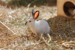 White Rabbit in the dry grass Royalty Free Stock Images