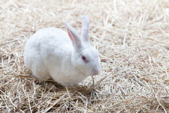 White rabbit on dry grass Royalty Free Stock Photography