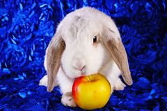 White rabbit eating apple panda hotot pattern lop on blue background Stock Photos