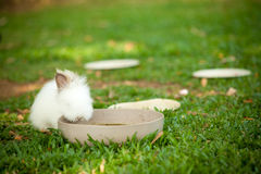 White rabbit. A white rabbit eating food in a bowl Royalty Free Stock Images