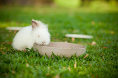 White rabbit. A white rabbit eating food in a bowl Royalty Free Stock Photography