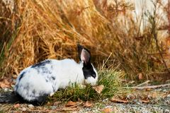 White rabbit eating grass Royalty Free Stock Images
