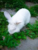 White rabbit eating grass at the city garden stock photo