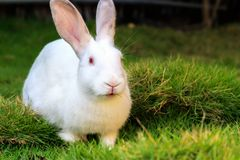 White rabbit eating grass on the lawn. Closeup. Background Royalty Free Stock Photo