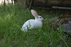 White rabbit eating grass in wild stock photo