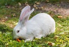 White rabbit enjoying its carrot Royalty Free Stock Photography