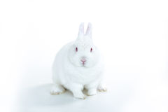 White rabbit facing camera Royalty Free Stock Images