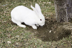 White Rabbit Field Royalty Free Stock Images