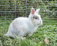 A white rabbit in the garden royalty free stock images