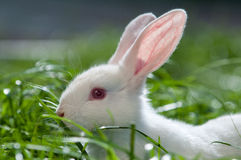 White rabbit on the grass Royalty Free Stock Photos
