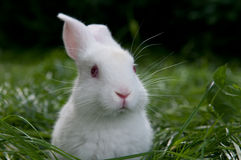 White rabbit on the grass Royalty Free Stock Images