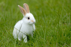 White rabbit on the grass. The little white rabbit on the grass Royalty Free Stock Photo