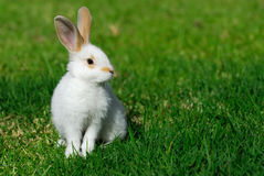 White rabbit on the grass. The little white rabbit on the grass royalty free stock photos