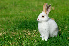 White rabbit on the grass. The little white rabbit on the grass Stock Photo