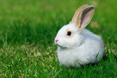 White rabbit on the grass. The little white rabbit on the grass Royalty Free Stock Photography