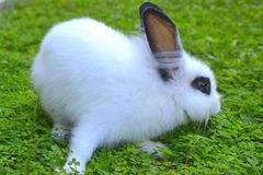 White Rabbit on grass Royalty Free Stock Image