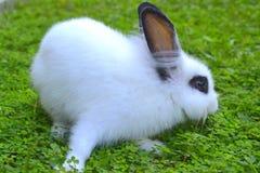 White Rabbit on grass. White Rabbit feeding on green grass Royalty Free Stock Image