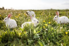 Baby white rabbit in spring green grass background stock photo