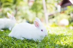 White rabbit on the grass in garden Royalty Free Stock Image