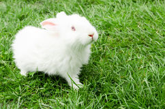 White rabbit in a grass Stock Images