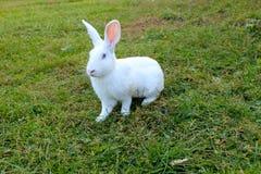 White rabbit on the grass Royalty Free Stock Photos